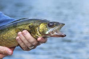 В Краснодарском крае ввели запрет на вылов щуки, а карпа теперь можно ловить любых размеров