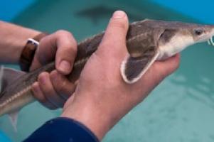 В Самарской области введен первый в России за 15 лет государственный рыбозавод